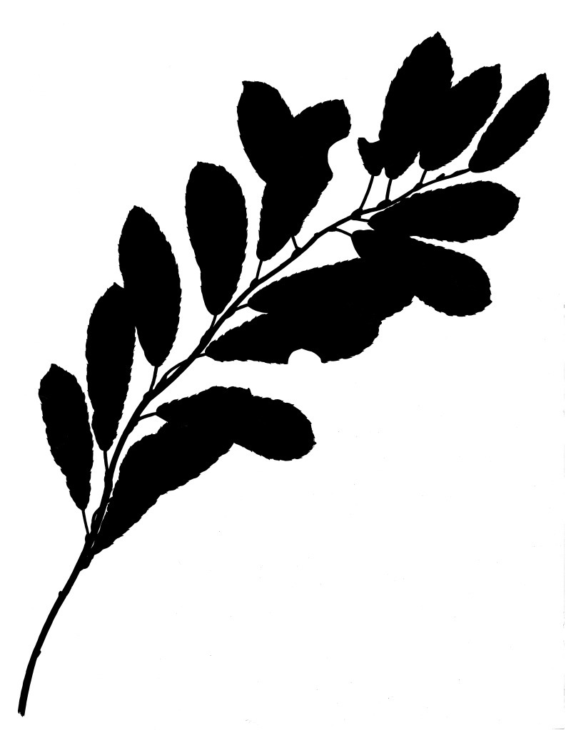 Tameside Macmillan Unit - Draft development - Ink Drawing of Branch with leaves. Image: Christopher Tipping