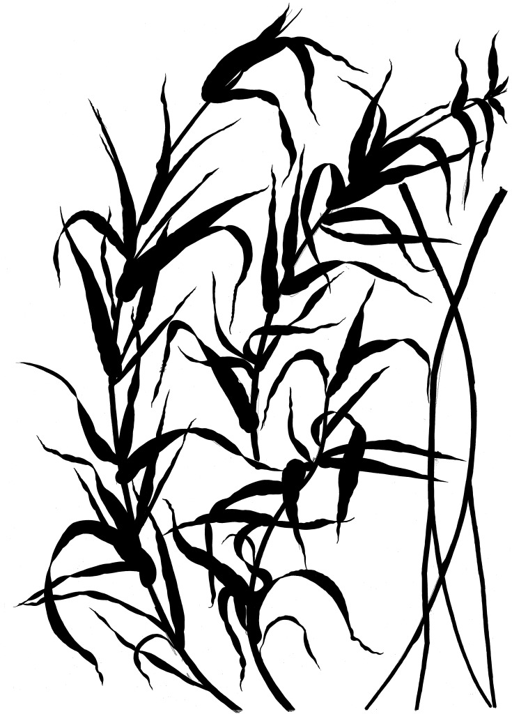 Tameside Macmillan Unit - Draft development - Ink Drawing of Reeds. Image: Christopher Tipping
