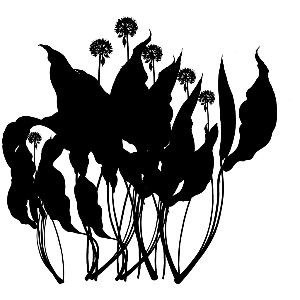 Tameside Macmillan Unit - Draft development - Ink Drawing of Wild Garlic. Image: Christopher Tipping